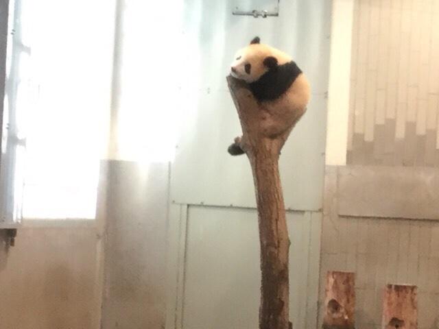 赤ちゃんパンダ シンシン
